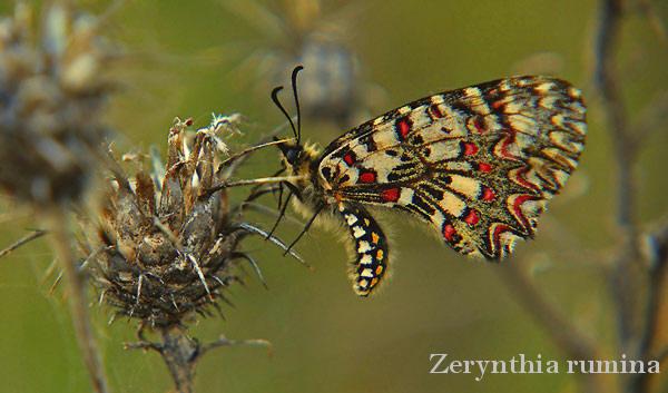 zerynthia-rumina4