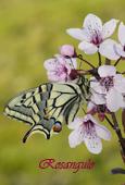 Papilio machaon (reverso)