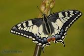 Papilio machaon (anverso)